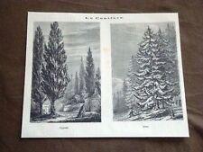 Conifere o Conifera Cipressi e Abeti Albero Botanica