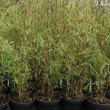 Bamboe Bambou Fargesia 'Jiuzhaigou' pot 3 liter 80 cm
