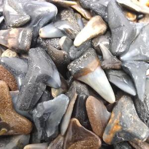 30 Fossilized Shark Teeth (15 River/15 Beach) +1 Shark Tooth Necklace + Bonus