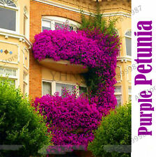 Hanging Petunia Flower Seeds Plants Perennial Flowers For Beautiful As 200pcs