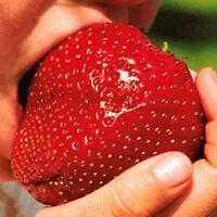 150Pcs Riesen Strawberry Seeds Ausgezeichnet mit hohem Vitamin Obst~
