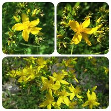 Echtes Johanniskraut Hypericum perforatum Heilpflanze Wildkraut Räucherpflanze