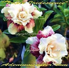 "ADENIUM OBESUM DESERT ROSE TRIPLE FLOWERS "" TRIPLE IRIDESCENCE "" 10 seeds NEW"
