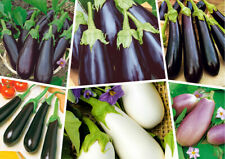 100pcs Eggplant Solanum Melongena Vegetable Seeds Mixed Edible Plant Garden
