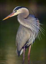 Great Blue Heron - 3D Lenticular Postcard Greeting Card