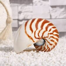13cm Natural Pearly Screw Nautilus Seashell Tiger Conch Coral Snail Decorection