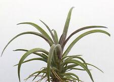 schatzlii red x tillandsia airplant. 4 inch across size. air plant