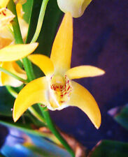 Dendrobium Gillieston Gold 'Natalie' AM/AOS, orchid plant in spike