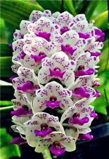 20Pcs Rare Cymbidium orchid Plants African Cymbidiums. # 253