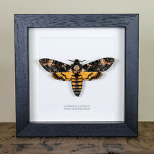 Deaths Head Hawk Moth in Back or White Box Frame (Acherontia atropos)