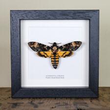 Deaths Head Hawk Moth in Back or White Box Frame (Acherontia atropos)
