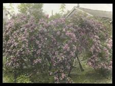 1920s Hand Colored Lilac Bushes Warrington R Tompkins Van Buren Studio Ithaca NY