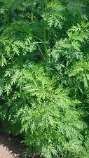 500 Samen einjähriger Beifuß, Qing hao (Artemisia annua)  Heilpflanze seeds semi