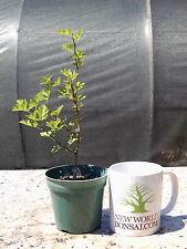Bonsai, Parsley Hawthorn, Crataegus marshallii, Live tree, Starter tree