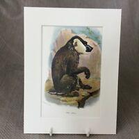 1896 Bohrer Pavian Primaten Affe Ape Original Antik Chromolithographie Aufdruck