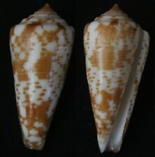 Seashells Conus thomae SUPERB 52.7mm F+++ CONE SNAILS marine specimen sea snail