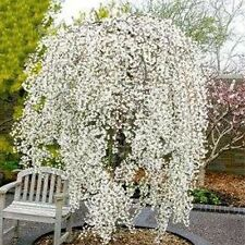 Snow Fountain Weeping Cherry Tree Seeds 20 Seeds dwarf tree drought tolerant