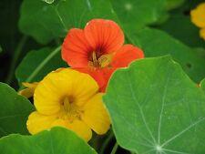 ☺25 graines de capucine orange et jaune en mélange. nasturtium/fleur comestible