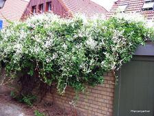 Schlingknöterich Polygonum aubertii 60-80cm Sommerblüher