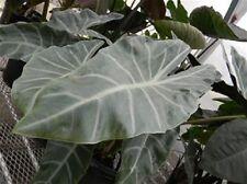 """Alocasia """"Zulu Mask"""" elephant ear Macrorrhiza plant"""