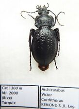 Carabus archicarabus victor cordithorax (female A1) from TURKEY