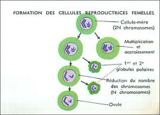 IMAGE CARD Anatomie Anatomy Formation Cellules Reproductrices Femelles Ovule 60s