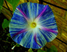 "Flying Saucers Morning Glory Vine Seeds! (EVERY FLOWER IS DIFFERENT!) 5"" FLOWERS"