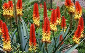 Aloe Vera   Aloe barbadensis   Organic   10 Seeds   (Free US Shipping)