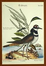 Gravure Ornithologie Oiseau LE PLUVIER DORE