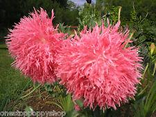 200 Poppy Flower Seeds Venus Double Peony Poppies Papaver Paeoniflorum #62