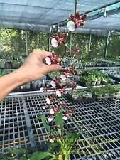 QOB Orchid Plant Strong Fragrant Oncidium Odorous Princess