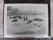 Original 1930 Rex Brasher#153  Hand Painted Bird Print  Bufflehead  #153REX2 DSS