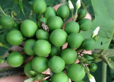 100 SEEDS Thai Pea Eggplant - Rare, Unusual & Small Eggplant Grows in Clusters