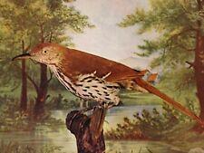 """1897 Picture Brown Thrush Bird 9.5X7"""" Animal  Art Wall Hanging Nature Study"""