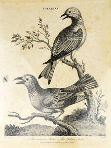 J Wilkes Lithograph Print Coracias Bird Roller Scientific Illustration Wildlife