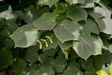 Manchu Striped Maple (ACER tegmentosum) 50 seeds bonsai maple