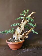 Bonsai tree tanuki needle  juniper photos 1 st Aug
