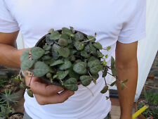String of Hearts Plant Succulent Ceropegia Woodii 4 inch pot