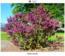 Salvia canariensis - Canary islands Sage - 50 Seeds
