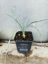 Yucca nana  Zwerg Yucca