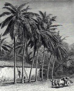 COCOA-NUT TREES AND CLIMBERS 1891 Sri Lanka VICTORIAN ENGRAVING