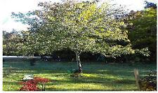 Maple Tree 25 Seeds Very Popular Shade Trees