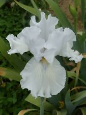 tall bearded iris Alabaster unicorn white