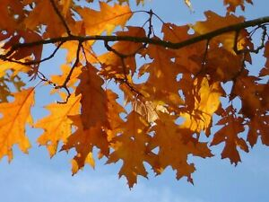 Quercus rubra (Red Oak) - Plant