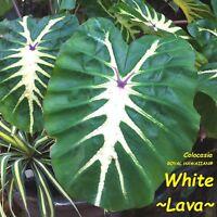 ~WHITE LAVA~ Colocasia esculenta ORNAMENTAL ELEPHANT EAR Live potted Small Plant