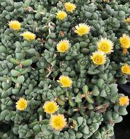 Succulent Ice Plant-Corpuscularia Lehmannii Astridia Velutina 5 fresh cuttings