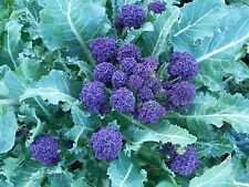 """BROCCOLI SEEDS """"PURPLE SPROUTING"""" (APPROX 100 SEEDS)"""
