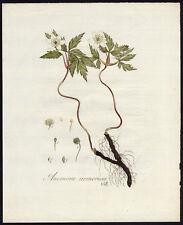 Antique Print-ANEMONE NEMEROSE-COMMON WOOD ANEMONE-Sepp-Flora Batava-1800