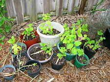 """Jasminum sambac Maid of Orleans 6-10"""" Unrooted Cutting Tea Plant (In Front yard)"""