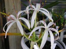 Crinum Lily, Loddigesianum, medium-size SPECIES bulb, NEW, RARE